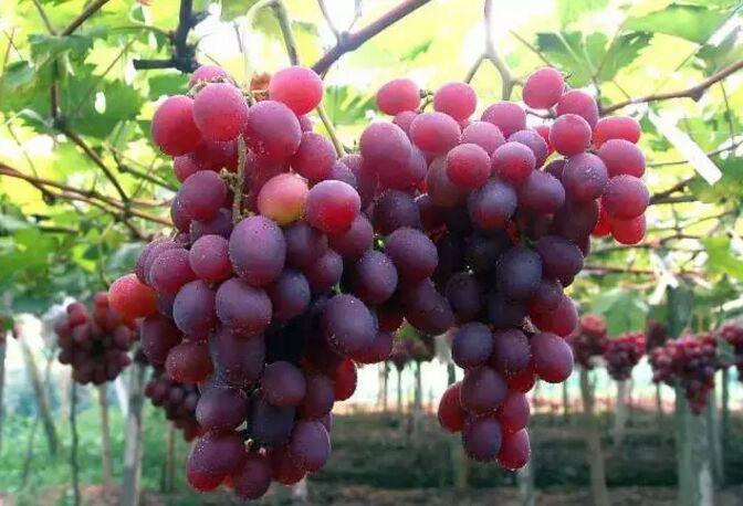 吃葡萄何必再去吐鲁番!玉泉、仙女河8个地儿等着你!